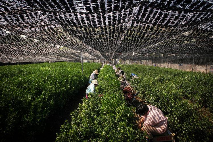 Gyokuro Japanse thee veld
