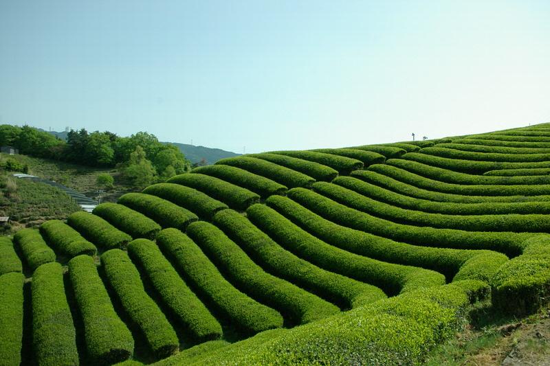 Japanse thee veld
